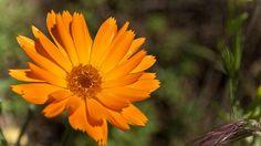 Calendula, Htm, Natural Medicine, Herbs, Index Cards, Plants