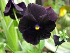 Black Pansy Clear Crystal Black Pansy Flower Garden by CheapSeeds, $2.50