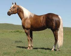 Firewater Frenchman,  www.futurefortunesinc.com Future stud to special effort? LOVE these bloodlines