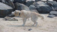 Beach Husky!!