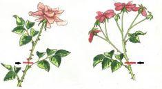 Ogławianie róż wielkokwiatowych (po lewej) i bukietowych (po prawej) pobudzi wypuszczenie nowych kwiatów Plants, Plant, Planets