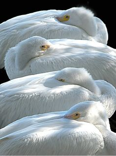 White Pelicans keeping their beaks warm on a cool afternoon.  Photo by Beverly Gustafson.
