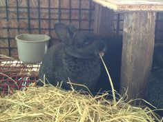 A gold-tipped steel kit *bad quality photo* (Cali X Cowboy litter) nibbling on hay. They'll be 3 weeks old May 7.