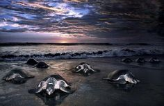Remarkable Photos of Sea Turtles Laying Eggs Along the Shores of Costa Rica