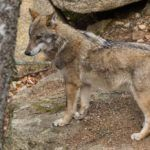 Lynx, Panther, Dogs, Animals, Animales, Animaux, Panthers, Pet Dogs, Doggies