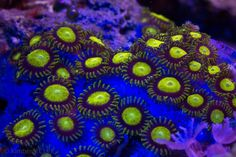 zoanthid coral - Google Search
