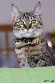 #occhi #agilità #animali #artigli #baffi #felini #fusa #gatto #gattoeuropeo #gattotigrato #mammiferi #mondoanimale #natura #quattrozampe #scattante #velocità #zampe