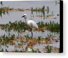 Snowy Egret At Gilbert Riparian Preserve Canvas Print by Tom Janca.  All canvas prints are professionally printed, assembled, and shipped within 3 - 4 business days and delivered ready-to-hang on your wall. Choose from multiple print sizes, border colors, and canvas materials.