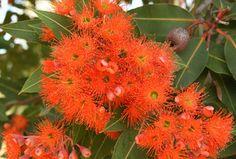 Red Gum flowers