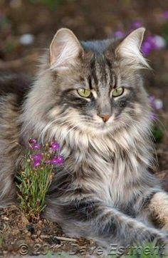 Gorgeous Long Haired Tabby Norwegian Forest Cat Forest Cat Pretty Cats