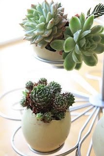 Microgardening:  miniature succulents planted in eggshells
