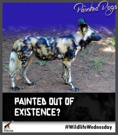 Today's Earth Day is also. Today we are celebrating African Wild Dogs, also known as Painted Dogs! Learn about these fascinating creatures in Nikela's Species page! African Wild Dog, Wild Dogs, Wednesday, Wildlife, Creatures, Earth, Painting, Animals, Design