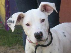 Dimples - 6 mo. dalmatian mix pup in Calif. #examinercom