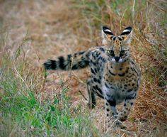 Elsen Karstad's 'Pic-A-Day Kenya': Serval Cat- Masai Mara Kenya