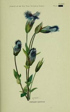 Fringed Gentian. Wild plants needing protection. Elizabeth G. Britton. BHL
