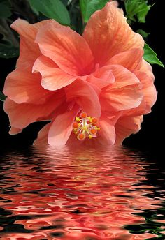 coral double hibiscus