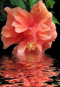 """ღღ I love this photo. The reflection of the color of the Hibiscus in the water. Would make a beautiful painting. ~~~ Hibiscus - Gorgeous Color The Colour Of the year """"Coral Radiance"""" Exotic Flowers, Tropical Flowers, Amazing Flowers, My Flower, Beautiful Flowers, Hibiscus Flowers, Hibiscus Garden, Hibiscus Plant, Colorful Roses"""