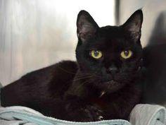 ERNESTO – A1077333 | NYC AC&C Urgent Cats