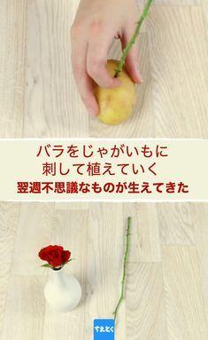 私たちは様々な場面で花を送ったりもらったりします。母の日、父の日、誕生日、なにかお祝い事があった時など…しかし残念なことに、カットされた花はすぐにしおれ、枯れてしまいます。今回はそんな花が再び根を生やし、長い間ずっと鑑賞できるようになるワザをご紹介します! #バラ #長持ち #切り花 #じゃがいも #再生 #きれい #裏ワザ #ちえとく #ガーデニング