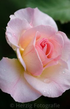 """Rosa """"Lady of the Dawn"""" - Rose"""