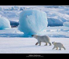 Polar bears walking by birds by Håkon Kjøllmoen, Norway, via Flickr.
