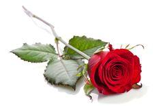 Szép rózsa - PROAKTIVdirekt Életmód magazin és hírek - proaktivdirekt.com Beauty And The Beast, Red Roses, Victoria Secret Pink, Flowers, Frames, Draw, Closet, Fashion, Beautiful Flowers