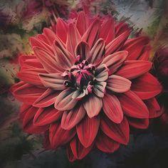 Gypsy  © Moo Moo Art #artistry_flair #moomooart #photography #iphone5 #enlightapp #flower #red #scarlet #gypsy #wonderland_arts