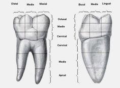 Caras del diente