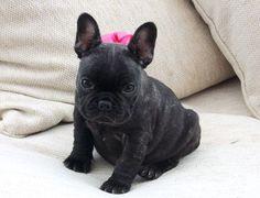 Solid Brindle French Bulldog Puppies
