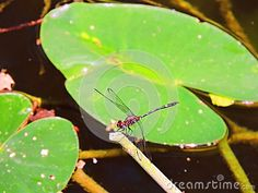 This red dragon fly is hanging out around the Lilly pads in the small creek near the shore.