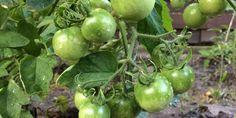 Vegetable Garden, Home And Garden, Vegetables, Tudor, Gardening, Home, Plant, Vegetables Garden, Lawn And Garden