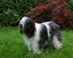 First thing that you will notice about this Polish dog breed is their long thick shaggy coat that also covers his eyes. Polish Lowland Sheepdog, Grey Hound Dog, Dog Activities, Dry Dog Food, Hunting Dogs, Dogs Of The World, Shelter Dogs, Shepherd Dog, Large Dogs