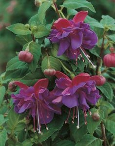 "Fuchsia ""Gillian Anthea"""