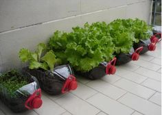 DIY CONTAINER GARDENING  - using plastic gallon bottles, soil and some seeds.... how cool is that!!!