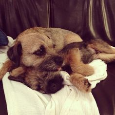 Border terriers cuddling.