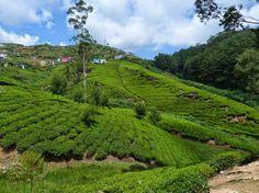 The tea plantations of Sri Lanka - a green ocean