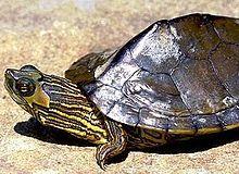 Alabama map turtle - Wikipedia