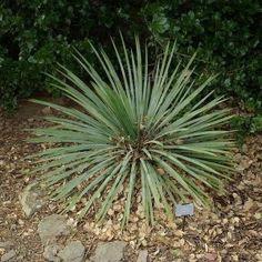 Achetez des graines de Yucca Glauca, cette plante vivace robuste de culture très facile pouvant atteindre 2 m de haut, aux feuilles rigides, étroites, vert-gris.