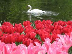 Swan & Tulips