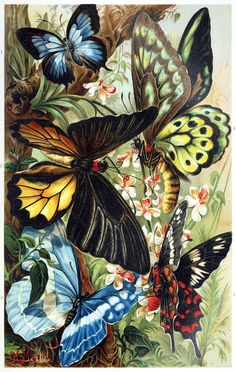 Exotic Butterflies from Brehms Tierleben (Brehm's Animal Life) Vol. by Alfred Edmund Brehm German Zoologist, Natural History Illustrator & Writer . Butterfly Kisses, Butterfly Art, Decoupage, Scrapbook Blog, Beautiful Butterflies, Oeuvre D'art, Exotic, Creations, Art Prints