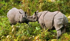 "One Country Figured Out How To Save Its Rhinos - BRAVO NEPAL! GOD'S SPEED ON YOUR COUNTRY'S HEALING! Rhinos are on the rise in Nepal! The country's crackdown on poaching has succeeded for another whole year.  ""Stories such as this also provide a much-needed ray of hope for people to believe that although the ground may have shaken beneath their feet, they still stand tall, undeterred and driven to build back a country that inspires the world,"" Anil Manandhar, Country Representative of WWF…"