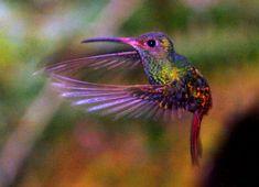 Bilderesultat for kolibri