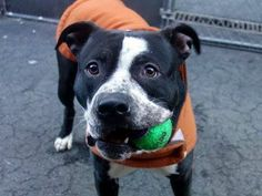 TO BE DESTROYED - 03/05/14 Manhattan Center -P. My name is CARLOS. My Animal ID #A0992657. I'm a male black/white pit bull mix about 2 YRS. A volunteer says: He leans in for petting, happy to be cuddled, and snorting while we hug. He's housebroken and was clearly someones pet! Very sweet! https://www.facebook.com/photo.php?fbid=765445156801699&set=a.611290788883804.1073741851.152876678058553&type=1&theater