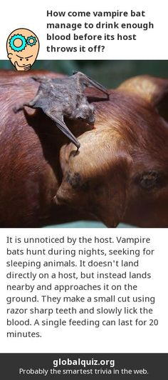 How come vampire bat manage to drink enough blood before its host throws it off? it is unnoticed by the host! Vampire bats hunt during nights, seeking for sleeping animals. It doesn't land directly on a host, but instead lands nearby and approaches it on the ground. They make a small cut using razor sharp teeth and slowly lick the blood. A single feeding can last for 20 minutes.