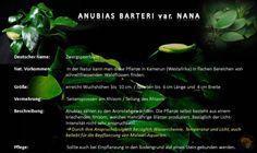 Anubias Barteri nana und die Mbunas und Nonmbunas aus dem Malawisee.Eckdaten zu dieser Pflanze aus Westafrika, und was zu beachten ist im Malawisee Aquarium.