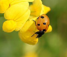 ladybug and yellow flowers