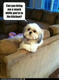 Shih Tzus can be so demanding!