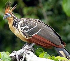 Hoatzin (Opisthocomus hoazin) is an odd species of tropical bird, a.k.a. Stinkbird or Canje Pheasant in Guyana. It's the national symbol of Guyana. Its name comes from the Canje River, in NE Guyana, where this bird is found.