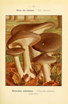 PL  19 - img/planches-dessins champignons/clitocybe nebularis - clitocybe nebuleux - comestible. P. Dumée - 1912