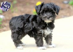 Keystone Puppies has a puppy finder feature setting you up to find and buy a dog perfect for your home. Poodle Mix Puppies, Puppy Finder, Buy A Dog, Adorable Puppies, Puppies For Sale, Mac, Creatures, Dogs, Animals